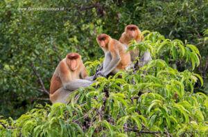 Bekantan,Proboscis monkey,