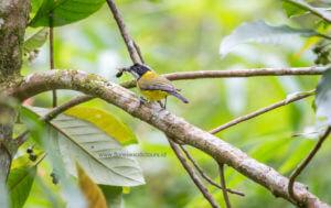 Birding in Flores