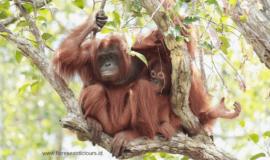 Orangutans Borneo tour