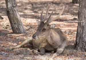 Timor Deer