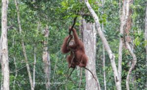 Orangutans,Kalimantan,Borneo