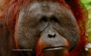Orangutans, Kalimantan, Borneo, Indonesia