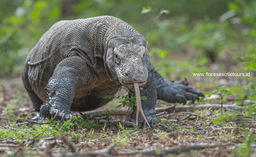 an analysis of komodo dragons in sumba These eggs then hatched and four juvenile komodo dragons hatched this would normally not have been too amazing, except for the fact that this particular female had not been in the company of a male for over two years.