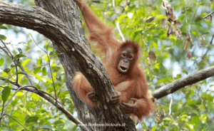 Orangutan tours - Tanjung Puting national Park