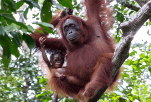 Orangutan, Mentawai, Toraja tours