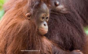 Orangutan Borneo, Tanjung Puting