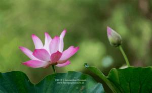 Rana Tonjong - Giant Lotus (Victoria Amazonica) at Rana Tonjong