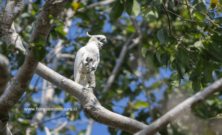 Yellow-crested Cockatoo, Cacatua sulphurea